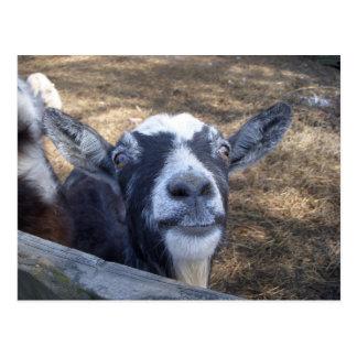 Carte Postale Bonjour chèvre amicale