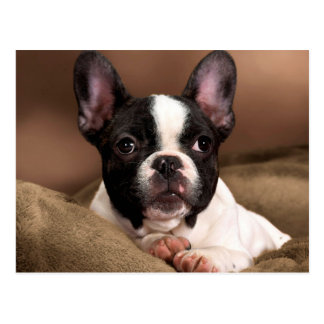 Carte Postale Boston Terrier