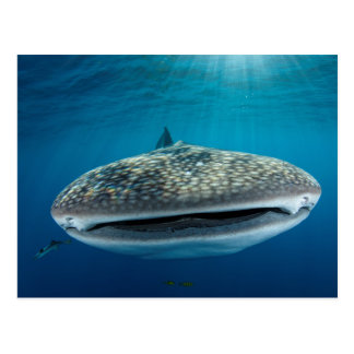 Carte Postale Bouche de requin de baleine