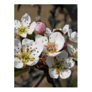 Carte Postale Branches de pommier Avec des fleurs
