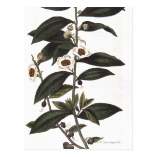 Carte Postale Brin de buisson de thé