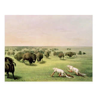 Carte Postale Buffalo de chasse camouflé