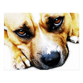 Carte Postale Bull-terrier du Staffordshire