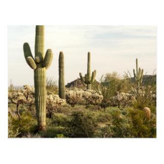 Carte Postale Cactus de Saguaro, Arizona, Etats-Unis