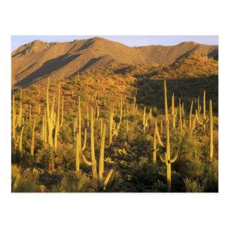 Carte Postale Cactus de Saguaro en parc national de Saguaro près