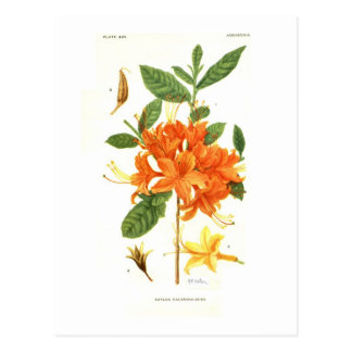 Carte Postale Calendulacea d'azalée