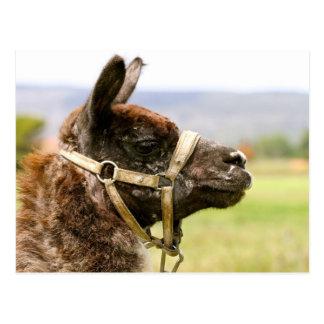 Carte Postale Camel