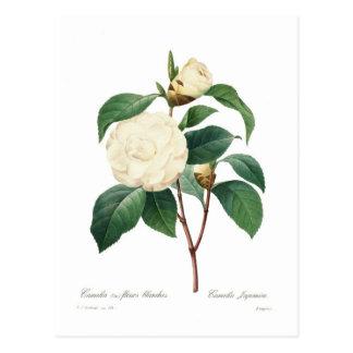 Carte Postale Camélia blanc