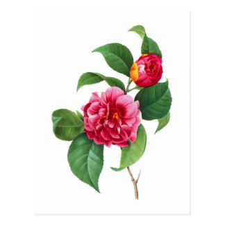 Carte Postale Camélia rouge par Pierre Joseph Redoute