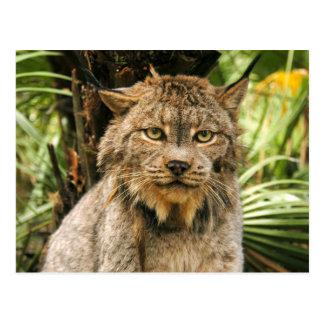 Carte Postale Canadien Lynx 4200e