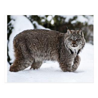 Carte Postale Canadien Lynx dans la neige