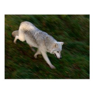 Carte postale canadienne de loup de bois de