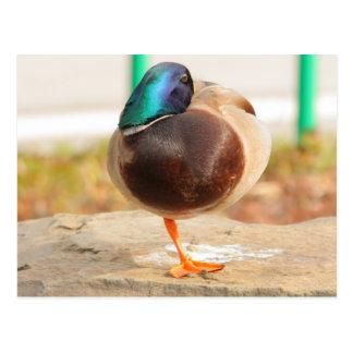 Carte Postale canard drôle