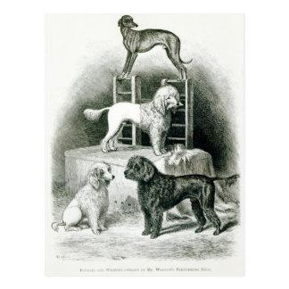 Carte Postale Caniches et whippet - groupe de M. Walton's