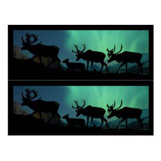 Carte Postale Caribou et lumières du nord