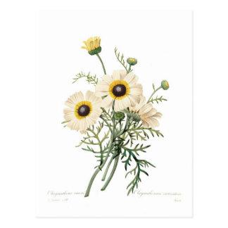 Carte Postale Carinatum de chrysanthème