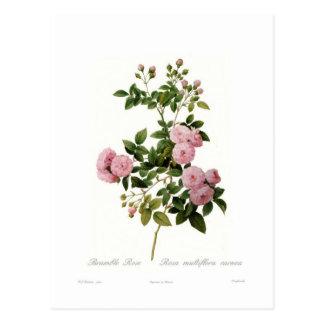 Carte Postale Carnea de multiflora de Rosa (la mûre s'est levée)