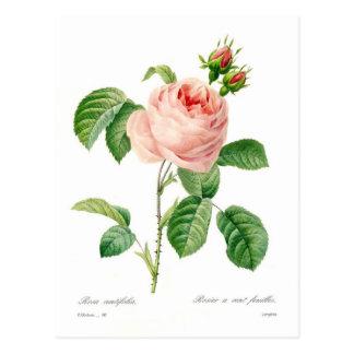 Carte Postale Centifolia de Rosa