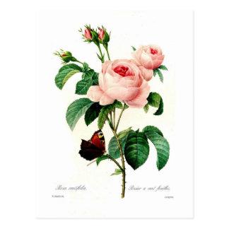 Carte Postale Centifolia de Rosa par Pierre-Joseph Redouté
