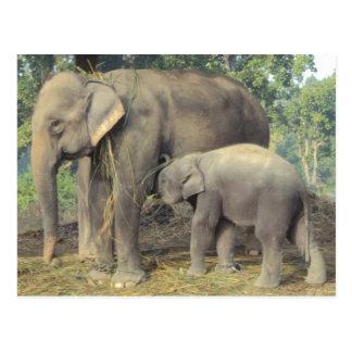 Carte Postale Centre d'élevage d'éléphant chitwan - babby et