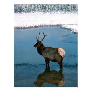 Carte Postale Cerfs communs d'hiver à l'étang