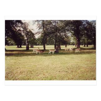 Carte Postale Cerfs communs en parc de Richmond