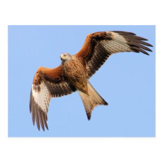 Carte Postale Cerfs-volants rouges sauvages