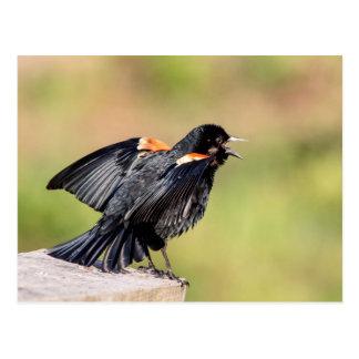Carte Postale Chant de merle à ailes rouges