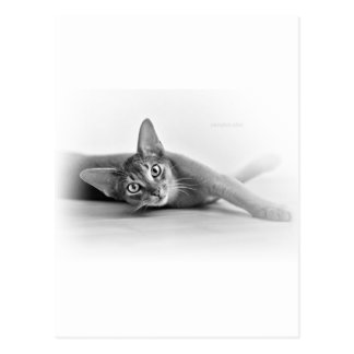 Carte Postale Chat abyssinien