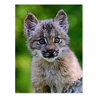 Carte Postale Chaton de Lynx de Canadien