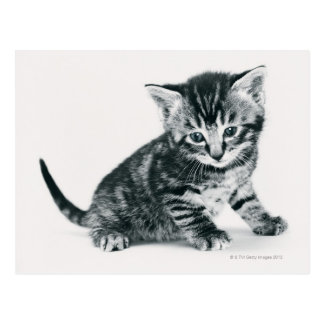 Carte Postale Chaton tigré