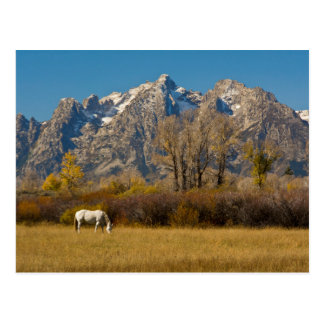 Carte Postale Cheval blanc, automne, Tetons grand