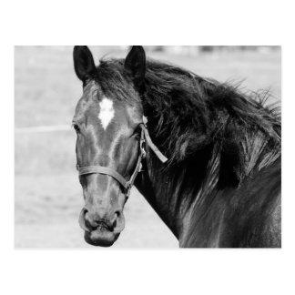 Carte Postale Cheval blanc noir