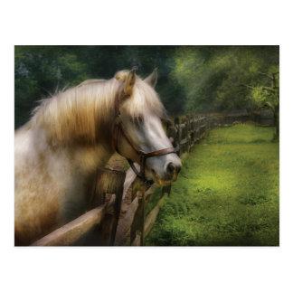 Carte Postale Cheval - étalon blanc