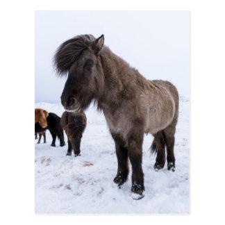 Carte Postale Cheval islandais dans le manteau d'hiver