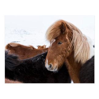 Carte Postale Cheval islandais parmi le troupeau