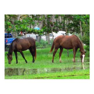 Carte Postale Chevaux frôlant dans les icaquiers, Trinidad du