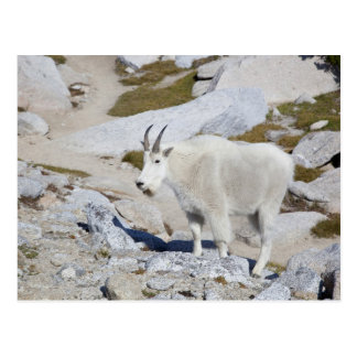 Carte Postale Chèvre de Billy, dans des enchantements supérieurs