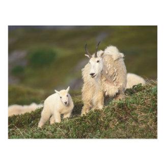 Carte Postale chèvres de montagne, Oreamnos américanus, mère et