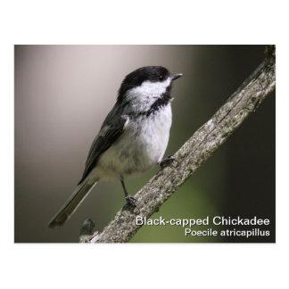 Carte Postale Chickadee Noir-couvert