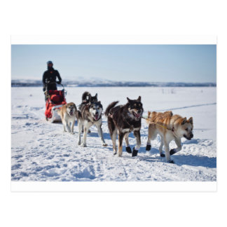 Carte Postale Chien Mushing Alaska