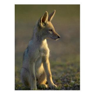 Carte Postale Chiot à dos noir de chacal (Canis Mesomelas)