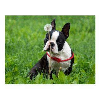 Carte Postale Chiot de Boston Terrier d'amour pensant à vous