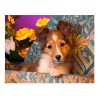 Carte Postale Chiot de chien de berger de Shetland dans une