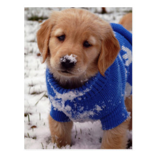 Carte Postale Chiot de golden retriever