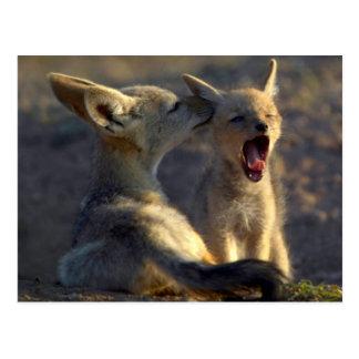 Carte Postale Chiots à dos noir de chacal (Canis Mesomelas)