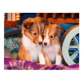 Carte Postale Chiots de chien de berger de Shetland se reposant