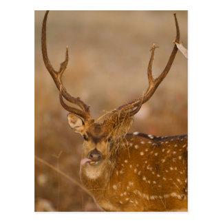 Carte Postale Chital ou Cheetal, cerf commun repéré, pâturage