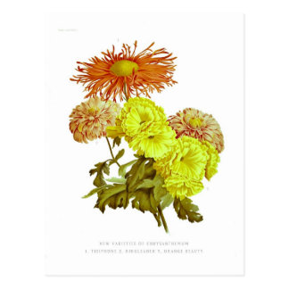 Carte Postale Chrysanthèmes