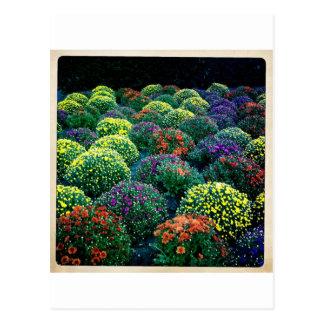 Carte Postale Chrysanthèmes de floraison d'hiver sur Park Avenue